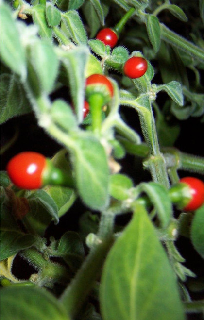 C.Galapagoense Chilli Plant Image, Chillies on the Web
