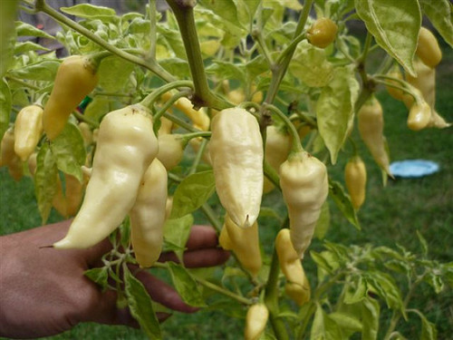 Devils Tongue White Chilli Image, Chillies on the Web