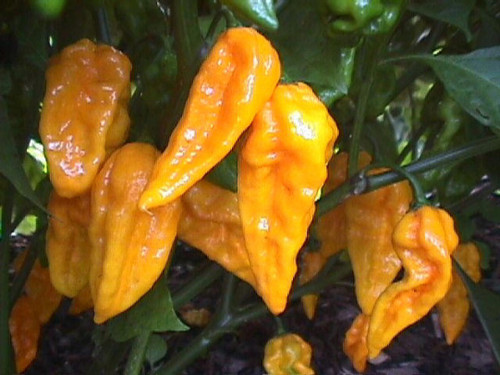 Devils Tongue Yellow Chilli Image, Chillies on the Web