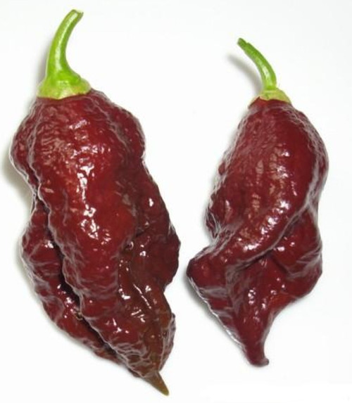 Chocolate Naga Bhut Jolokia Chilli Image, Chillies on the Web