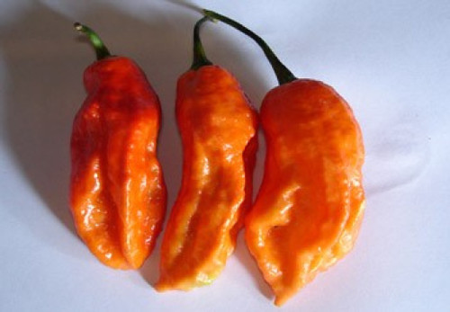 Naga Orange Chilli Image, Chillies on the Web