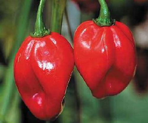 Naga Monster Chilli Image, Chillies on the Web