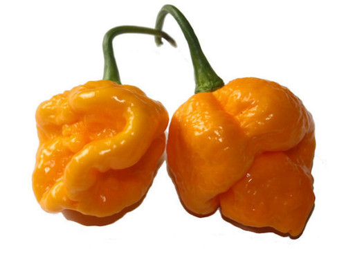 7 Pot/7 Pod Orange Chilli Image, Chillies on the Web