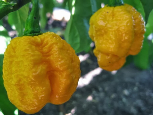 7 Pot 7 Pod Brain Strain Yellow Chilli Image | Chillies on the Web