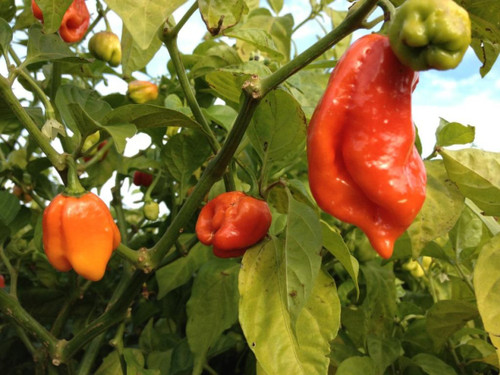 7 Pot/7 Pod Chaguanas Chilli Image, Chillies on the Web