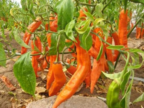 Aji Amarillo Chilli Plant Image, Chilies on the Web