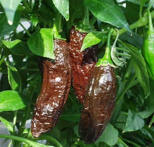 Aji Panca Chilli Plant Image, Chillies on the Web