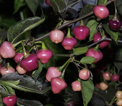 Cheiro Roxa Plant Image, Chillies on the Web