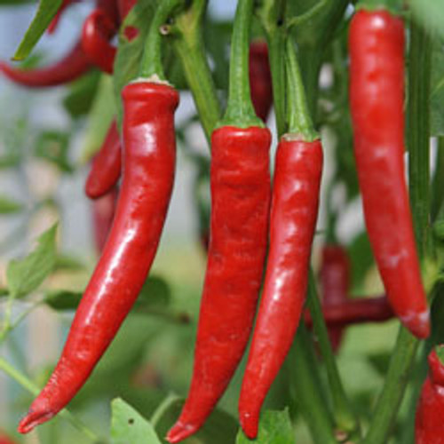Mild Turkish Cayenne Chilli Plant Image, Chillies on the Web