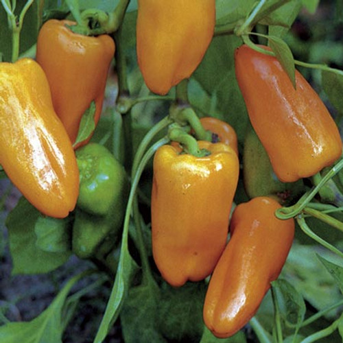 Habanero Peach Chilli Image, Chillies on the Web