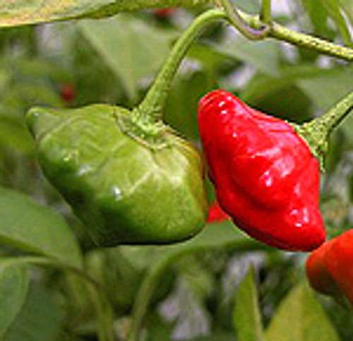 Star of Turkey Chilli Plant Image, Chillies on the Web