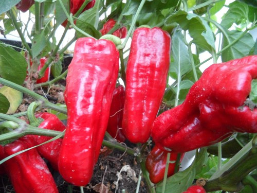 Aleppo Chilli Plant Image, Chillies on the Web