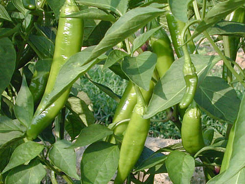 Anaheim Chilli Seeds Image by Chillies on the Web