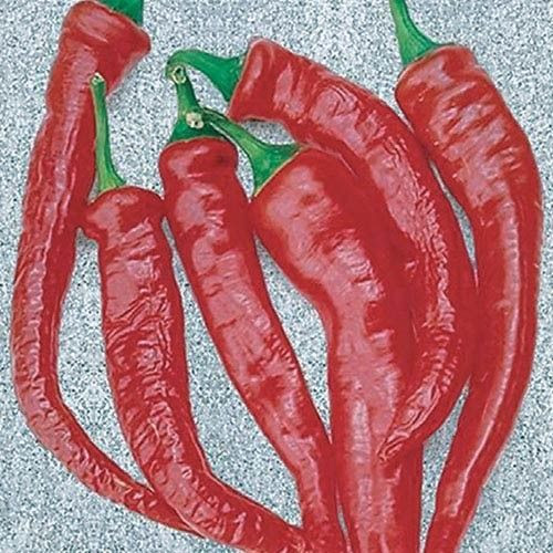 Cayenne Thick Fleshed Chilli Plant Image by Chillies on the Web