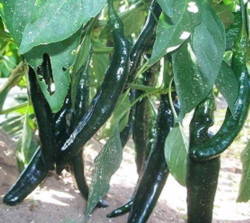 Pasilla Bajio Chilli Seeds Image by Chillies on the Web