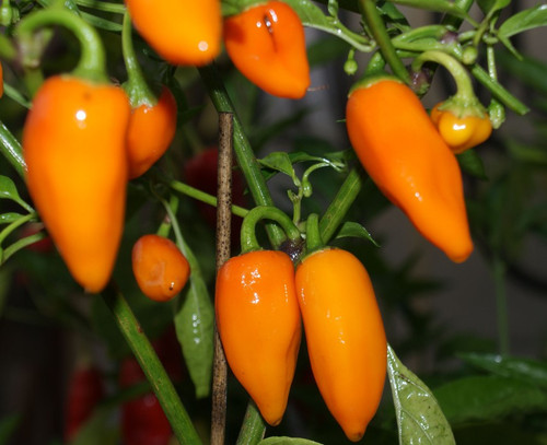 Jalapeno Orange Chilli Seeds Image by Chillies on the Web
