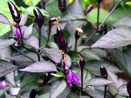 Royal Black Chilli Seeds Image by Chillies on the Web