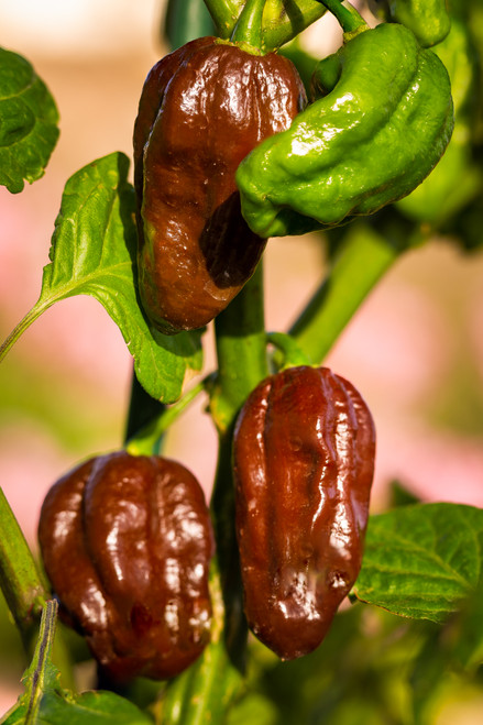 Habanero Chocolate Chilli Seeds Image by Chillies on the Web
