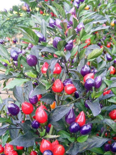 Numex Centenial Chilli Seeds Image by Chillies on the Web