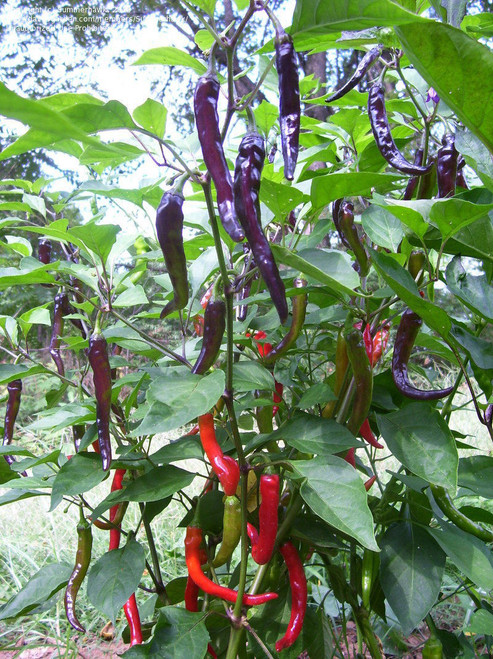 Cayenne Purple Chilli Seeds Image by Chillies on the Web
