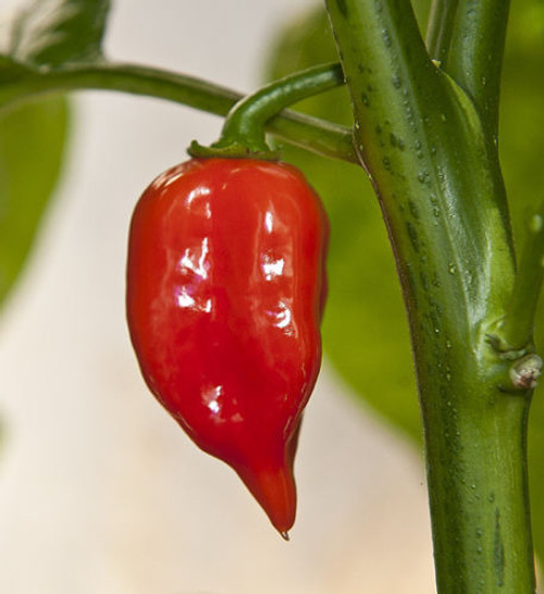Habanero Maya Chilli Seeds Image by Chillies on the Web