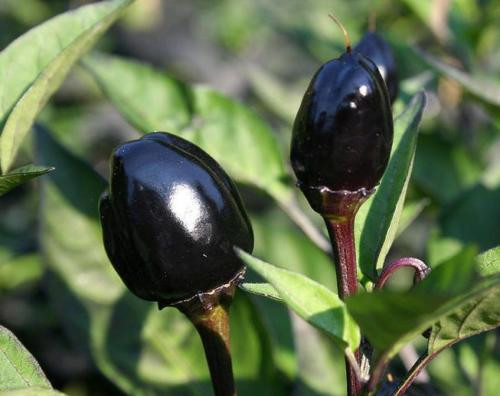 Black Olive Chilli Seeds Image by Chillies on the Web
