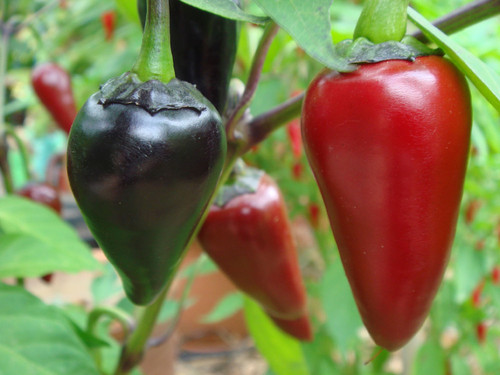 Black Hungarian Chilli Seeds Image by Chillies on the Web