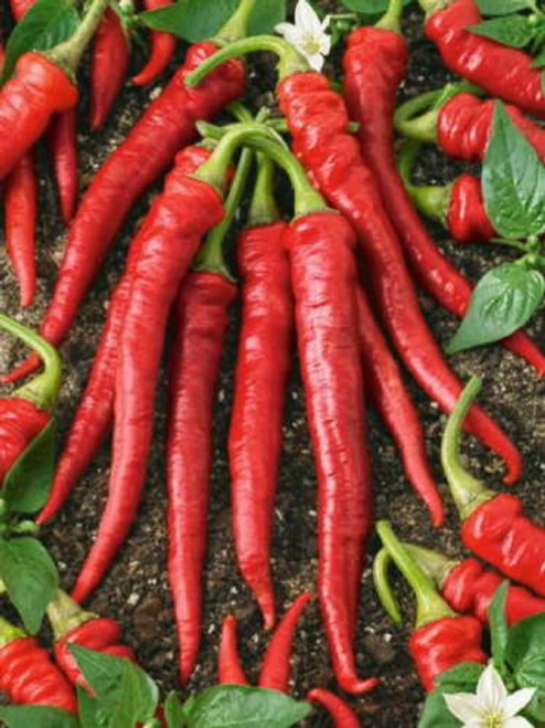 Maules Red Chilli Seeds Image by Chillies on the Web