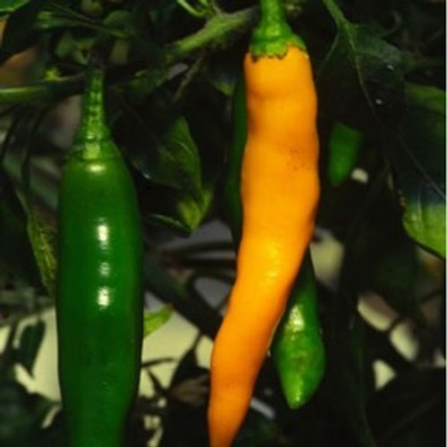 Costeno Amarillo Chilli Seeds Image by Chillies on the Web