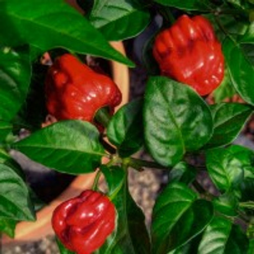 Numex Suave Red Chilli Seeds Image by Chillies on the Web