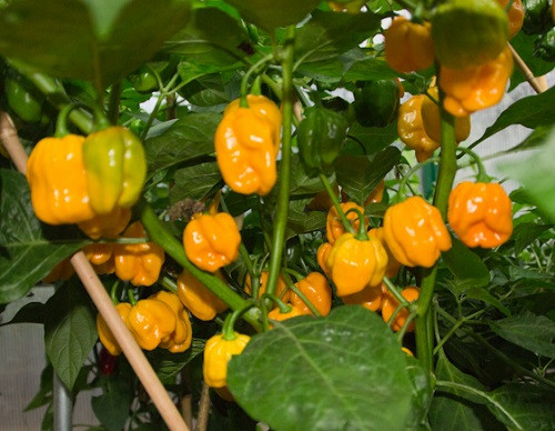 Numex Suave Yellow Chilli Seeds Image by Chillies on the Web