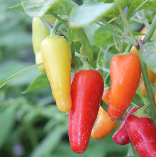 Numex Pinata Chilli Seeds Image by Chillies on the Web