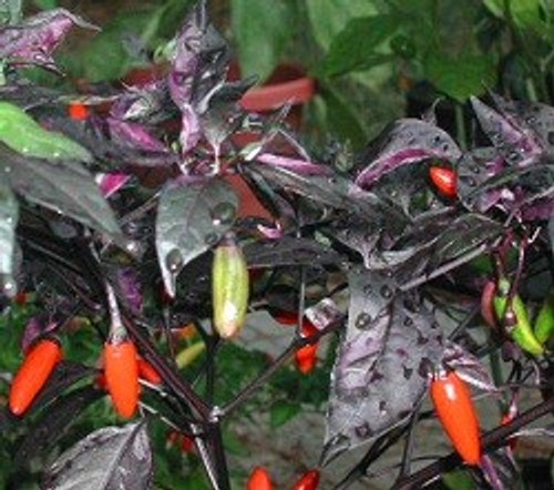 Variegata Chilli Seeds Image by Chillies on the Web