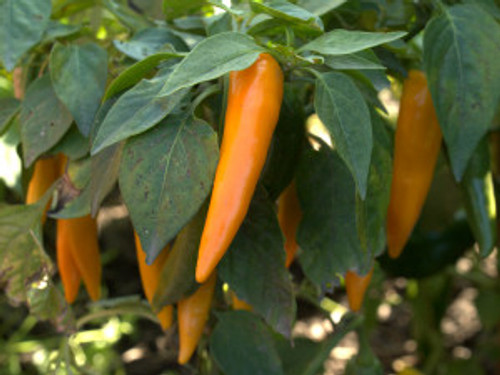 Bulgarian Carrot Chilli Seeds Image by Chillies on the Web