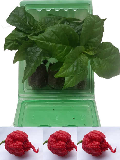 3 Pack of Carolina Reaper Red Chilli Plants Image by CHILLIESontheWEB