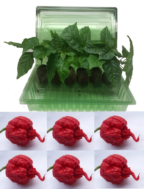 6 Pack of Carolina Reaper Red Chilli Seedling Plants Image by CHILLIESontheWEB