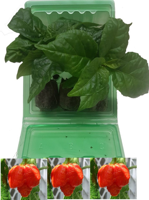 Moruga Scorpion Red 3 Pack of Chilli Seedling Plants Image by CHILLIESontheWEB