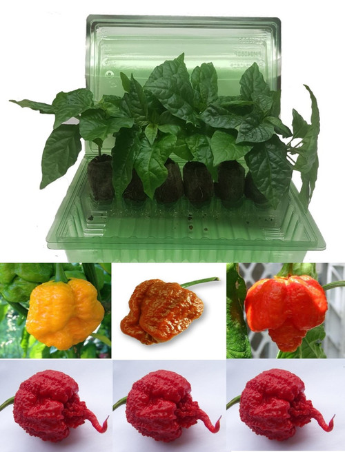 6 Pack of Reaper Moruga Scorpion Chilli Seedling Plants Image by CHILLIESontheWEB