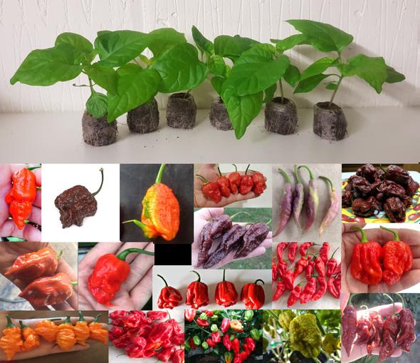 18 Pack of Hybrid - Rare Chilli Seedling Plants x  1