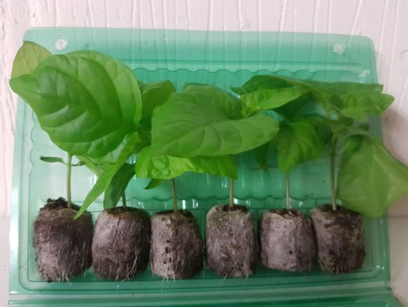 6 Pack of Hybrid - Rare Chilli Seedling Plants x  1