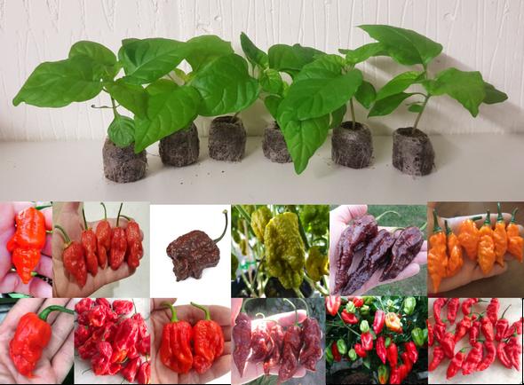 12 Pack of Hybrid - Rare Chilli Seedling Plants x  1