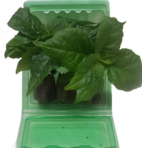 3 Pack of Habanero Chilli Seedling Plants x  1