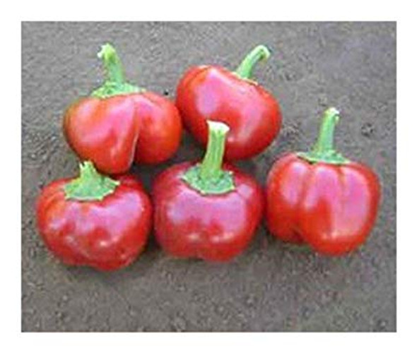 Mexibell F1 Chilli Seeds Image by CHILLIESontheWEB