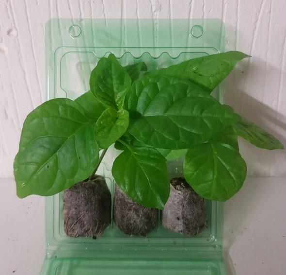 3 Pack of Moruga Scorpion Colour Chilli Seedling Plants x  1
