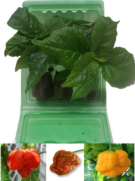 Moruga Scorpion Colour 3 Pack of Chilli Seedling Plants Image by CHILLIESontheWEB
