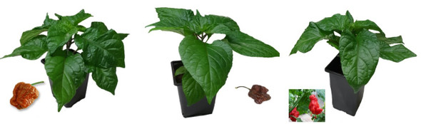 3 Pack of Superhot 9cm Chilli Plant Image by CHILLIESontheWEB