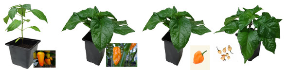 4 x 9cm Chilli Plant - Naga Yellow : Numex Pinata : Habanero Orange : Pockmark Peach Image by CHILLIESontheWEB
