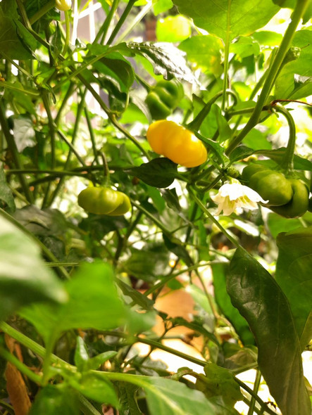 Aji Brazilian Starfish Yellow Chilli Plant Image by CHILLIESontheWEB