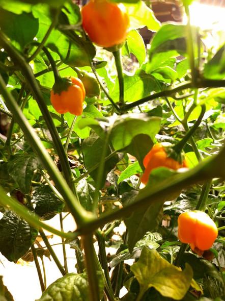 Aji Mango Chilli Plant Image by CHILLIESontheWEB