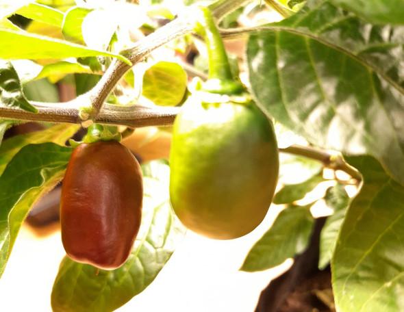 Coffee Chilli Plant Image by CHILLIESontheWEB